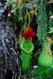 绿色和红颜色的猪笼草植物 库存图片