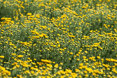 黄色和花 图库摄影