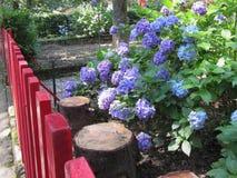 紫色和蓝色八仙花属在一个庭院里开花(八仙花属macrophylla)夏令时 免版税库存照片