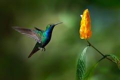 绿色和蓝色蜂鸟黑红喉刺莺的芒果, Anthracothorax nigricollis,飞行在美丽的黄色花旁边 图库摄影