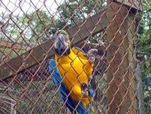 黄色和蓝色金刚鹦鹉 免版税库存照片