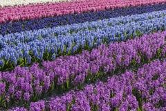 紫色和蓝色风信花领域Noord荷兰 库存图片