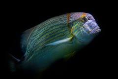 黄色和蓝色鱼 图库摄影