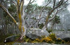 黄色和银色产树胶之树 图库摄影