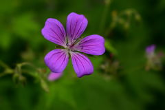 紫色和镶边野生森林大竺葵 免版税库存图片