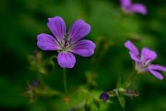 紫色和镶边野生森林大竺葵 库存图片