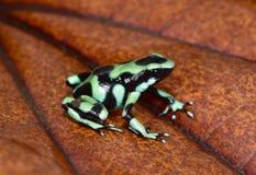 绿色和黑毒物箭青蛙,哥斯达黎加 图库摄影