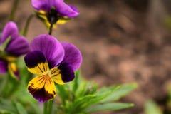 紫色和黄色与与黄色花粉的条纹蝴蝶花 库存照片