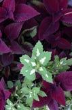 绿色和紫色叶子 免版税库存图片