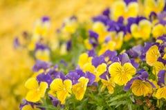 黄色和紫色喇叭花 库存图片