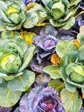 绿色和紫色圆白菜在菜园里 库存图片