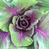 绿色和紫色圆白菜 免版税库存照片