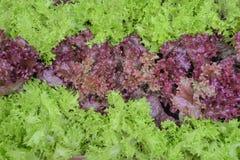 绿色和紫色圆白菜 库存图片