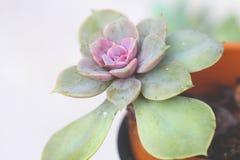 紫色和绿色多汁植物 免版税库存照片
