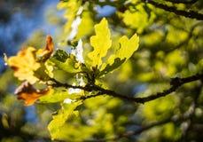 绿色和黄色橡木离开bokeh 免版税库存照片