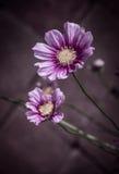 紫色和黄色百日菊属 免版税库存图片