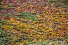 紫色和黄色石南花背景 库存图片