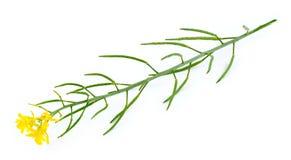 黄色和绿色芥末植物和花被隔绝的宏指令  免版税库存照片
