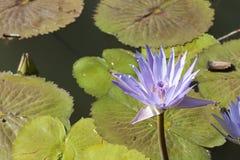 紫色和黄色荷花 图库摄影