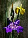 黄色和紫色虹膜 免版税库存照片