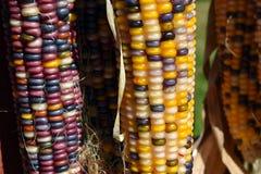紫色和黄色装饰玉米 免版税图库摄影