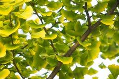 绿色和黄色银杏树在树离开 免版税图库摄影
