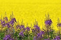 紫色和黄色领域花 免版税库存照片