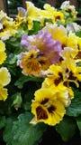 黄色和紫色翻动了蝴蝶花庭院甲板门廊 库存照片