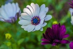 黄色和紫色延命菊雏菊特写镜头在起斑纹的阳光下 库存照片