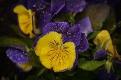 紫色和黄色蝴蝶花雨珠 免版税库存图片