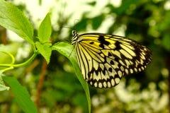 黄色和黑色蝴蝶 图库摄影