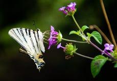黄色和黑色蝴蝶 免版税库存图片