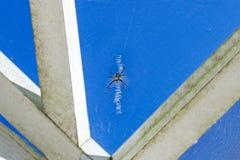 黑色和黄色Argiope蜘蛛 库存照片