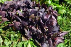 绿色和紫色basi 免版税图库摄影