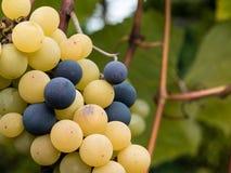 绿色和黑葡萄准备好收获和葡萄酒酿造 免版税图库摄影