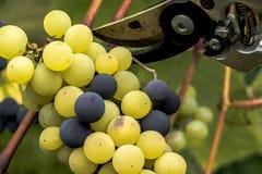 绿色和黑葡萄准备好收获和葡萄酒酿造 图库摄影