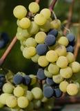 绿色和黑葡萄准备好收获和葡萄酒酿造 免版税库存照片
