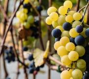 绿色和黑葡萄准备好收获和葡萄酒酿造 库存照片