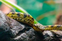 黄色和黑蛇 图库摄影