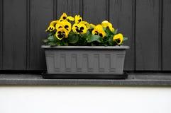 黄色和黑蝴蝶花 库存照片
