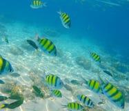 黄色和黑镶边珊瑚鱼 免版税库存图片