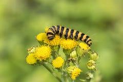 黄色和黑镶边辰砂毛虫哺养 免版税库存照片