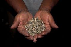 绿色咖啡豆收获在工作者手上 免版税库存图片