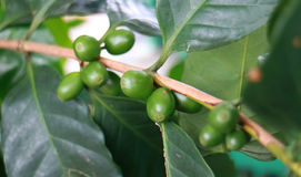 绿色咖啡豆 库存照片