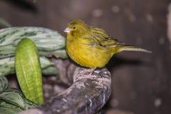 绿色唱歌雀科(雀类mozambicus) 免版税库存照片