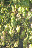 绿色啤酒花球果树 库存图片