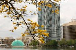 黄色喇叭树在湖Eola开花在奥兰多,佛罗里达 免版税库存照片