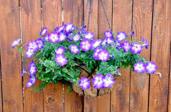紫色喇叭花垂悬的篮子 免版税库存图片
