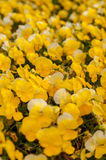 黄色喇叭花开花 库存照片