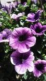紫色喇叭花花阳光庭院甲板门廊 库存照片